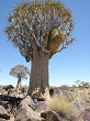 Namibie Quivert tree forest
